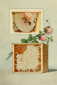 ≗ The Bee's Reverie ≗ Honey. Illustration from 'The Grocer's Encyclopedia' comp. by Artemas Ward. Bee Illustration, Buzzy Bee, I Love Bees, Bee Art, Bees Knees, Vintage Artwork, Bee Keeping, Queen Bees, Honeycomb