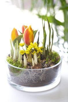 Lökväxter i glasskål - enkel och snyggt!