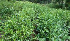 Ahualoa Tea Farm (Hawaii)