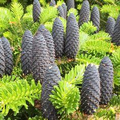 Korean fir (Abies koreana) Abies Koreana, Endangered Plants, Conifer Trees, Growing Tree, Evergreen, Brown And Grey