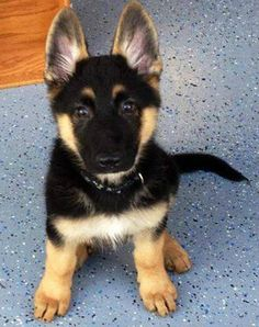 Cutie...German Shepherd Pup