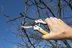 Wer seine Obstbäume regelmäßig mit einem Obstbaumschnitt versieht, kann sich über eine ertragreichere Ernte und gesunde Bäume freuen. Wir stellen Schnitttechniken vor.