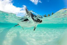 baby sea turtles with big turtle computer background | Westmorland Images - Michele Westmorland