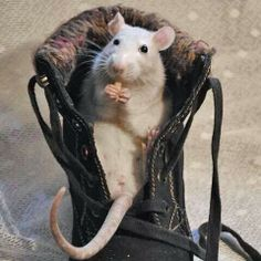 The Charm of Pet Rats : The Humane Society of the United States Hamsters, Rodents, Chinchilla, Animals And Pets, Cute Animals, Les Rats, Fancy Rat, Cute Rats, Little Critter