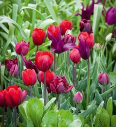The Florentine Tulip Collection will flower from mid-April to May. All the tulips are mixed together in one bag, ready to plant in one go or to divide over several containers.