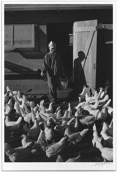 Buyenlarge 'Chicken Farm, Mori Nakashima' by Ansel Adams Photographic Print Size: Ansel Adams Photography, Farm Photography, Landscape Photography, Japanese American, Black N White Images, Rare Photos, Black And White Photography, Natural, Art Prints