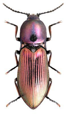 Selatosomus miyajimanus