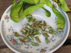 Eat Your Weeds: Foraging for and Eating Maple Seeds   *Be aware of tree/nut allergies, they apply!