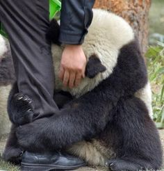 A scared panda clings to a police officer's leg after an earthquake hits China.  This picture is so precious, I can't help but smile!