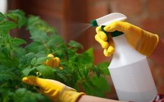 Avoiding chemicals doesn't mean you have to put up with garden pests. Here are 10 of the best natural substances that act as organic pesticides. How To Make Organic Pesticides - 10 Recipes That Really Work Azadirachta Indica, Baking Soda Cleaning, Natural Pesticides, Garlic Bulb, Plant Diseases, Plant Guide, Neem Oil, Tomato Plants, Edible Plants