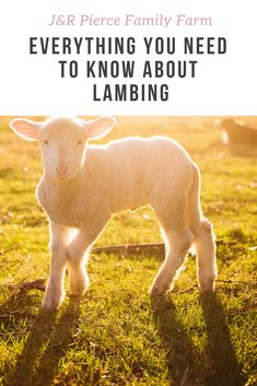 Everything You Ever Wanted to Know About Lambing (But Didn't Want to Ask!) - J&R Pierce Family Farm Sheep Farm, Sheep And Lamb, Raised Garden Beds, Raised Bed, Baby Lamb, Pregnancy Signs, Hobby Farms, Baby Chicks, Raising Chickens