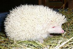 Amazing Animals, Animals Beautiful, List Of Animals, Funny Animals, Albino Hedgehog, Melanistic Animals, Rare Albino Animals, Tier Fotos, Fauna