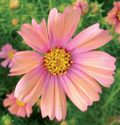 Check out the Cosmos in Cosmos, Flowering Annuals, Plants & Seeds from Annie's Annuals & Perennials for Annys may refer to: Cosmos Flowers, Peach Flowers, Cut Flowers, Flower Colors, Flower Types, Flowers Nature, Birth Flowers, Zinnias, Flower Seeds