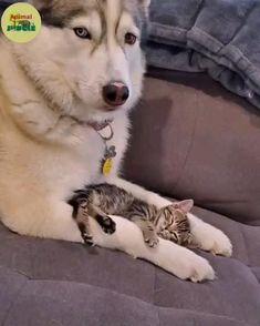 Cute Little Animals, Cute Funny Animals, Cute Cats, Chien Golden Retriever, Cute Husky Puppies, Gato Gif, Cute Animal Videos, Funny Animal Pictures, My Animal