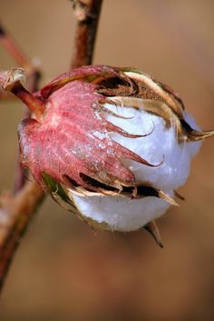 Cotton Boll by Toni Dale on Capture Arkansas // A cotton boll from Cotton Plant Botanical Flowers, Botanical Prints, Decay Art, Cotton Plant, Cotton Fields, Cotton Gin, King Cotton, Organic Cotton, China Painting