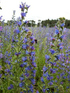 A wildflower meadow of Echium vulgare Viper's Bugloss - a feast for bees. SO PRETTY. look into this.