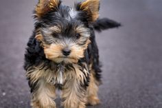 The Parti Yorkie is a variation of purebred Yorkshire terrier, with different coloring. Here are the differences between a parti yorkie vs yorkie vs biewer Yorkie Poo Puppies, Yorkie Puppy For Sale, Yorkies, Pet Puppy, Toy Yorkie, Free Puppies, Puppy Food, Husky Puppy, Puppies For Sale