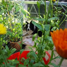 Greenhouse full of all sorts ready to plant out, with one of my helpers keeping watch 🐾🌻🐾