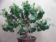 How to get a jade plant to flower.