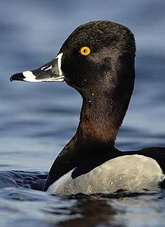Ring Necked Duck male