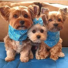"Explore our web site for more relevant information on ""Yorkshire terrier dogs"". It is an outstanding location to learn more. Yorkies, Yorkie Puppy, Teacup Yorkie, Yorky Terrier, Terrier Dogs, Bull Terriers, Terrier Mix, Cute Puppies, Cute Dogs"