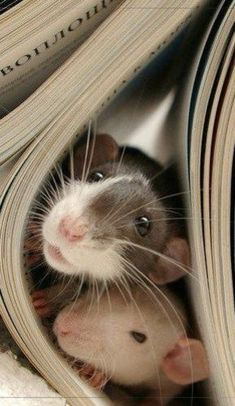 Whats not to love about cute  snoopy rats?!!