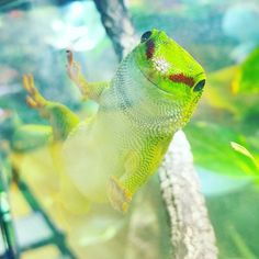 Oh happy day gecko Geckos, Reptiles And Amphibians, Lizards, Lounge, Vibrant, Puppies, Photo And Video, Happy, Nature