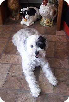 Maltese Poodle Miniature Mix Dog For Adoption In Rancho Santa Fe