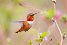 Cognition in the wild, brought to you by the Rufous Hummingbird ...