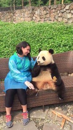 2019 Chengdu photo with panda Visit China Panda Holding ChengDu WestChinaGo Travel Service www. Cute Funny Animals, Cute Baby Animals, Animals And Pets, Cute Dogs, Cute Babies, Niedlicher Panda, Panda Love, Cute Panda, Panda China