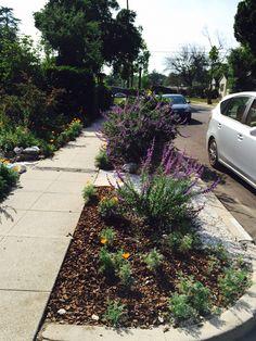 Nice drought tolerant parkway