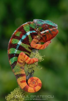 Panther Chameleon (Furcifer pardalis) - Paul Bratescu Photography