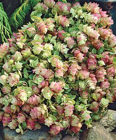 "Kent oregano is a perennial herb that is drought tolerant and a favorite of hummingbirds. It has aromatic foliage and blooms pink or lilac flowers late spring-early fall.It prefers full sun-part shade and grows 6-12"" tall. Used in borders, containers, cuttings, or dried. Zones 5-10"