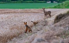 About those foxes. Trying to get a decent picture became almost an obsession. Although the weather was somewhat boring and the mosquitoes were really trying to make me feel not worth it I still decided to go and see if Ill find the fox family. I got this. Do you think it was worth it? :) #fox #animals #wildlife #sweden #vadstena #hejöstergötland #travel #travelphoto #naturelovers #nature #babyanimals #animalsofinstagram #bbcearth #earthcapture #räv #sverige #nikon #nikonphotography #d500