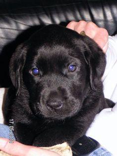 Benji 17-05-2010 Black Labs, Labrador Retriever, Sweet, Labrador Retrievers, Candy, Black Labrador, Labrador, Labrador Retriever Dog