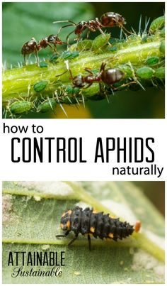 Got bugs? It's time for a little aphid control with a two-pronged approach. You need to control the aphids AND the ants in your vegetable garden for natural pest control. Garden ~ prepping ~ homestead ~ grow your own ~ seeds ~ vegetables Slugs In Garden, Garden Pests, Garden Bugs, Organic Gardening, Gardening Tips, Vegetable Gardening, Veg Garden, Organic Farming, Organic Insecticide