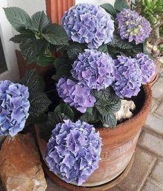 Így lesz egy egyszerű adalékkal kék hortenzia a rózsaszínből. http://balkonada.cafeblog.hu/2017/06/12/trukk-amivel-kekre-szinezheted-a-hortenziat/