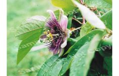 Passion Flower Etsy Passion Flower Wings Art Flowers