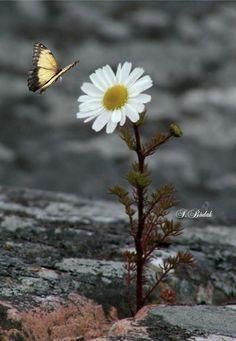 Pin by Rasha Asaad on Flowers Beautiful Butterflies, Beautiful Flowers, Beautiful Pictures, Sunflowers And Daisies, Wild Flowers, Daisy Flowers, Fuerza Natural, Daisy Love, Flower Wallpaper