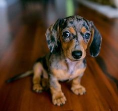 Shop for dachshund products, dachshund dog ramp and other amazing products. Treat your wiener dog, sausage dog or loving dachshund today! Miniature Dachshunds, Dapple Dachshund Miniature, Silver Dapple Dachshund, Miniature Dog Breeds, Weenie Dogs, Doggies, Baby Weiner Dogs, Mini Weiner Dog, Mini Dogs