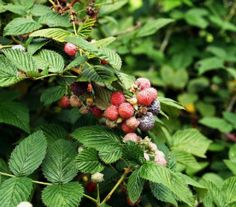 How to Harvest and Dry Raspberry Leaves for Tea: Red raspberry -(good farmer's market item to sell in the fall)