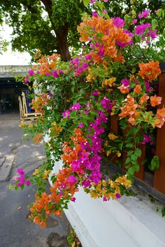 Thailand Bougainvillea More