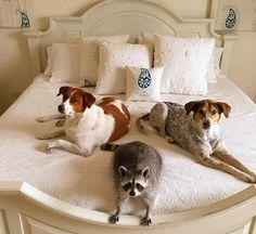 El mapache que creía ser un perro | Pumpkin, el mapache abandonado y rescatado que cree ser un perro - Yahoo Noticias