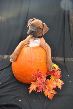 my two favorite things in the whole world, boxers and pumpkins =)