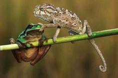 Psst! Chamäleon hält Frosch den Mund zu