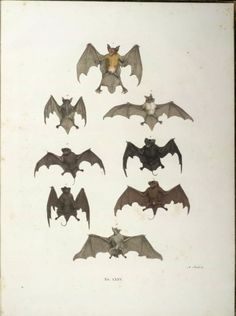 a taxonomy of bats