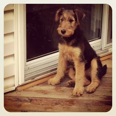 (: I had an airedale terrier puppy and I miss him so much