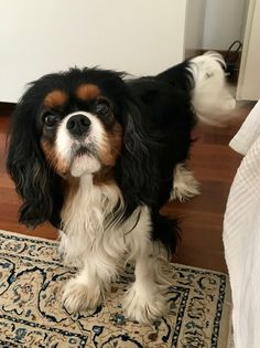 Discover Smart Cavalier King Charles Spaniel Exercise Needs Spaniel Puppies For Sale, Cute Puppies, Cute Dogs, King Charles Puppy, King Charles Spaniel, Cavalier King Spaniel, Sleeping Puppies, Doge, Dog Lovers