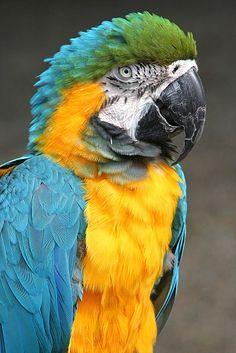 ✯ Parrot