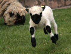 Valais Blacknose Sheepie